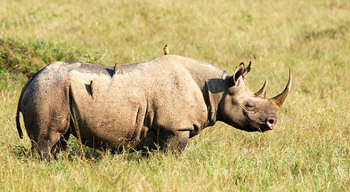 poisoning of the rhino horns essay South african conservationists are poisoning rhino horns to make them harmful to humans it's the latest tactic in the war against poachers, who have killed almost 800 rhinos so far this year.